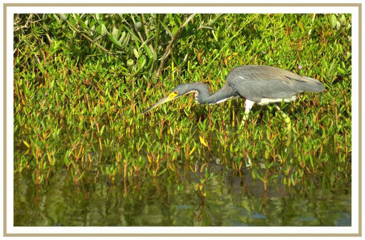 Garza pescando en  la Laguna de Tacarigua